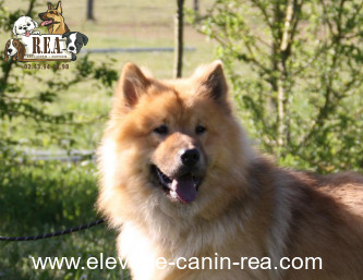 EURASIER - Mâle - Élevage Canin Réa - Sarthe 72